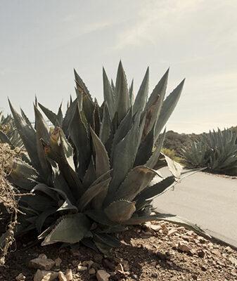 Cactus_ArroyoGrande_2012©CarolineChevalier